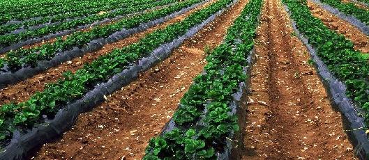 Il telo Pacciamatura di Ecoplen in PE rigenerato per un'agricoltura sostenibile.